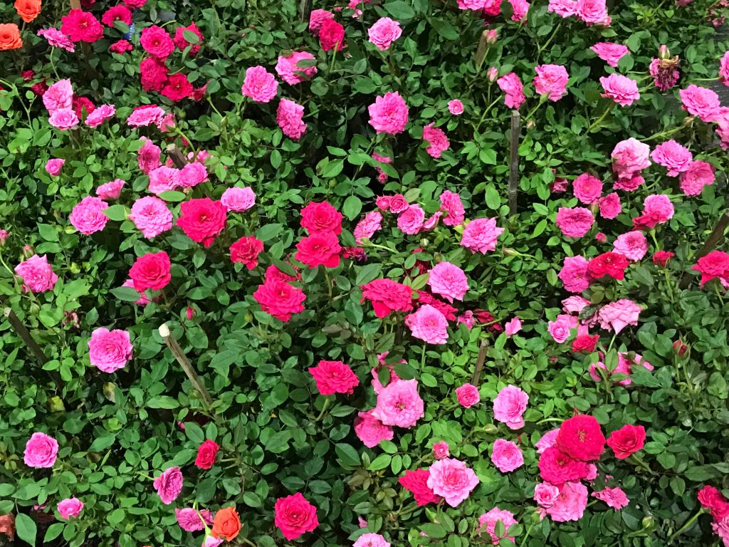 Rose Bush Care Contains The Proper Location For Sunlight